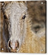 Red Willow Pony Acrylic Print