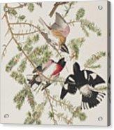 Rose-breasted Grosbeak Acrylic Print
