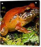 Rosy Ground Frog Acrylic Print
