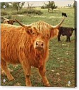 Scottish Highlander With Big Bangs Acrylic Print