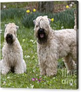 Soft-coated Wheaten Terriers Acrylic Print
