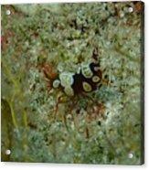 Squat Anemone Shrimp Acrylic Print