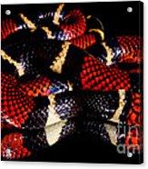 Surinam Coralsnake Acrylic Print