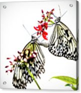The Extraordinary Rice Paper Butterfly A Series Acrylic Print