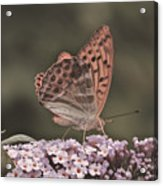 Tramonti Butterfly Acrylic Print