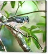 Tufted Titmouse In The Wilds Of South Carolina Acrylic Print