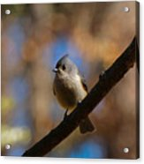 Tufted Titmouse Acrylic Print