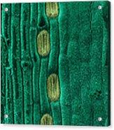 Wheat Leaf Stomata, Sem Acrylic Print