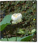 White Lotus Flower Flower Lotus Nature Summer Green Plant Blossom Asian Acrylic Print