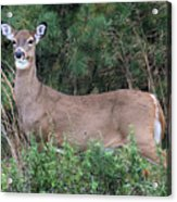White Tailed Deer Calverton New York Acrylic Print