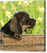 Wire-haired Dachshund Puppy Acrylic Print