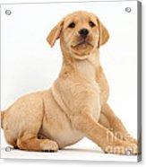 Yellow Labrador Retriever Puppy Acrylic Print