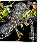 Yellow Spotted Tropical Night Lizard Acrylic Print