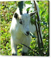 Young Goat On A Farm Acrylic Print