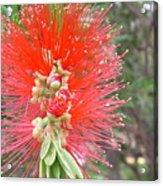 Australia - Red Callistemon Flower Acrylic Print