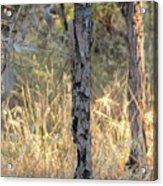 Australian Bush Acrylic Print