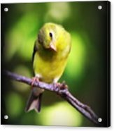 3008 - Goldfinch Acrylic Print