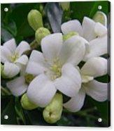 Australia - Gardenia White Flowers Acrylic Print