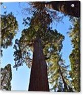 Giant Sequoia Trees Acrylic Print
