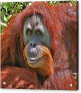 31- Orangutan Acrylic Print