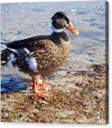 Duck Acrylic Print