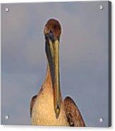 35- Brown Pelican Acrylic Print