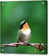 3531 - Ruby-throated Hummingbird Acrylic Print
