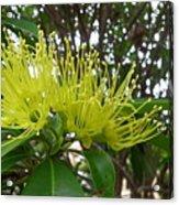 Australia - Pollinating A Green Leionema Flower Acrylic Print