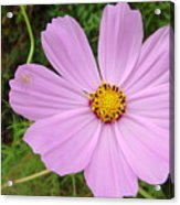 Australia - Mauve Flowers Acrylic Print