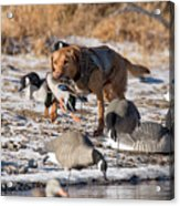 Duck And Goose Hunting Stock Photo Image Acrylic Print