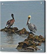 37-  Pelicans Acrylic Print