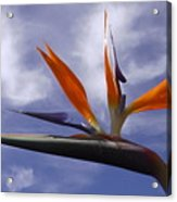 Australia - Bird Of Paradise On Blue Acrylic Print