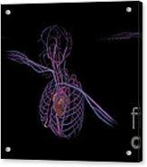 3d Rendering Of Human Circulatory Acrylic Print