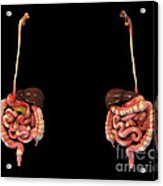3d Rendering Of Human Digestive System Acrylic Print