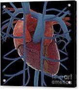 3d Rendering Of Human Heart Acrylic Print