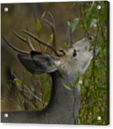 3x3 Buck Mule Deer-signed-#9716 Acrylic Print