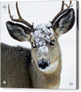 3x3 Mule Deer Buck-signed-#8800 Acrylic Print
