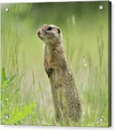 A European Ground Squirrel Standing In A Meadow In Spring Acrylic Print