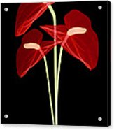 Anthurium Flowers, X-ray Acrylic Print