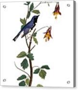Audubon: Warbler, (1827-38) Acrylic Print