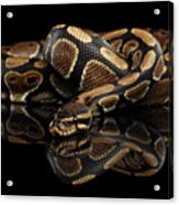 Ball Or Royal Python Snake On Isolated Black Background Acrylic Print
