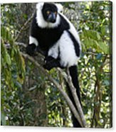 Black And White Ruffed Lemur Acrylic Print