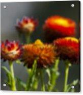 Blurred Seasonal Flower With Dark Background Acrylic Print
