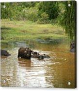 Buffalos Acrylic Print