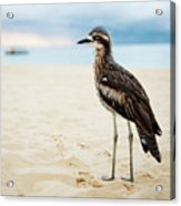 Bush Stone-curlew Resting On The Beach. Acrylic Print