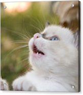 Cute 2 Month Old White Kitten Acrylic Print