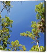 4- Cypress Trees Acrylic Print