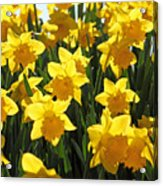 Daffodils In The Sunshine Acrylic Print