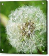 Dandelion Close-up. Acrylic Print