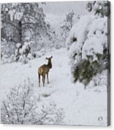 Elk In Deep Snow In The Pike National Forest Acrylic Print